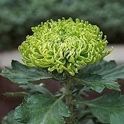 200pièces graines de chrysanthème vert uniques,...