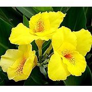 3 pièces lys canna jaune bulbes superbes...